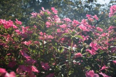 soku_33179.jpg :: 植物 花 ピンクの花 フレア 悪い例