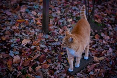 soku_33187.jpg :: 紅葉 動物 哺乳類 猫 ネコ 茶トラ