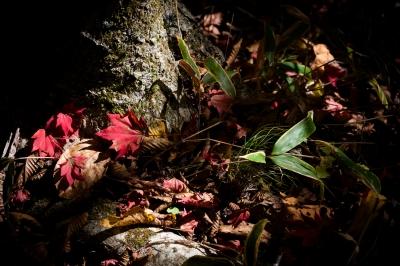 soku_33222.jpg :: 風景 自然 紅葉 赤い紅葉