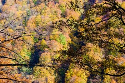 soku_33226.jpg :: 風景 自然 紅葉 黄色い紅葉