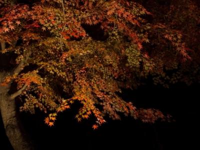soku_33254.jpg :: 風景 自然 紅葉 赤い紅葉 夜景