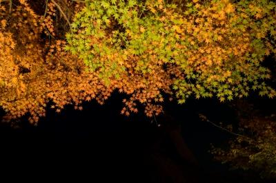 soku_33255.jpg :: 風景 自然 紅葉 黄色い紅葉 夜景