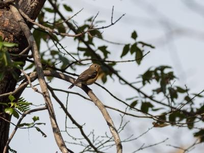 soku_33259.jpg :: 動物 鳥 野鳥 自然の鳥 ムギマキ