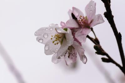 soku_33309.jpg :: 小原町の四季桜 植物 花 桜 サクラ 花びら