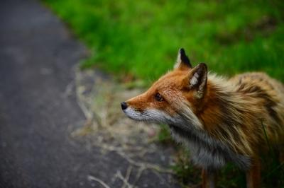 soku_33331.jpg :: 動物 哺乳類 狐 キツネ