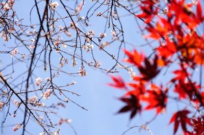 soku_33340.jpg :: 小原の四季桜