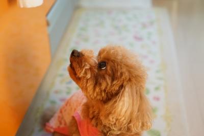 soku_33355.jpg :: 動物 ペット 犬 ロングヘアーダックス