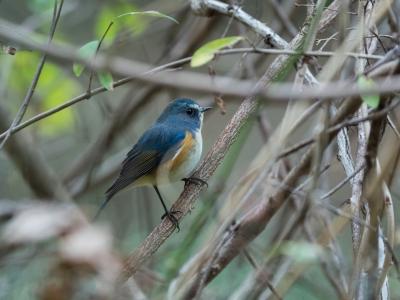 soku_33386.jpg :: 動物 鳥 野鳥 自然の鳥 ルリビタキ