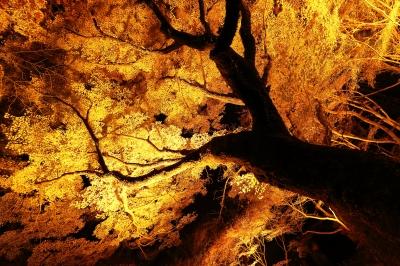 soku_33398.jpg :: 植物 樹木 紅葉 夜景 色 光 ライトアップ