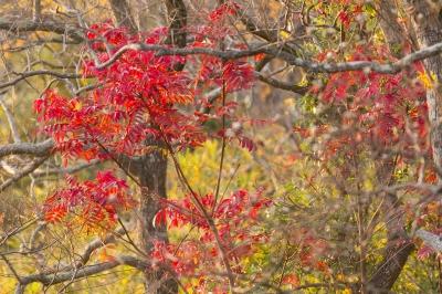 soku_33414.jpg :: 風景 自然 紅葉 赤い紅葉