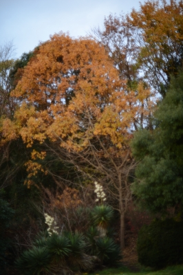 soku_33420.jpg :: 風景 自然 紅葉 黄色い紅葉
