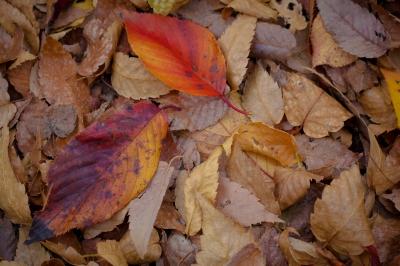 soku_33441.jpg :: 植物 草葉 枯れ葉 風景 自然 紅葉 落ち葉