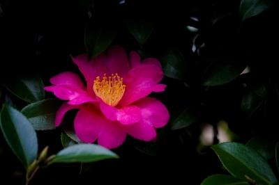 soku_33442.jpg :: 植物 樹木 庭木 椿