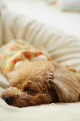 soku_33459.jpg :: 動物 ペット 犬 ミニチュアダックスフンド