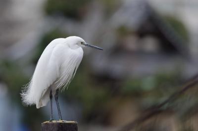 soku_33540.jpg :: 動物 鳥 野鳥 自然の鳥 サギ