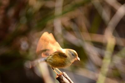 soku_33543.jpg :: 動物 鳥 野鳥 自然の鳥