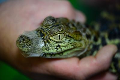 soku_33561.jpg :: 動物 ペット 爬虫類 両生類 ワニ