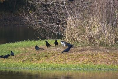 soku_33616.jpg :: 動物 鳥 猛禽類 カラス