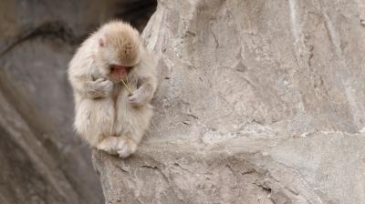 soku_33618.jpg :: 動物 哺乳類 猿 サル 子猿