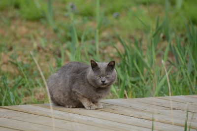 soku_33631.jpg :: 動物 哺乳類 猫 ネコ