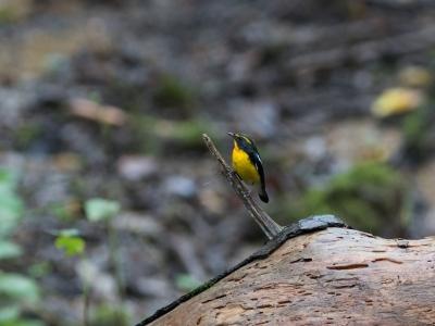 soku_33634.jpg :: 動物 鳥 野鳥 自然の鳥 キビタキ 秋の渡り