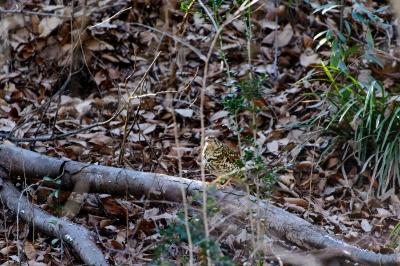 soku_33645.jpg :: 動物 鳥 野鳥 自然の鳥 未記入鳥