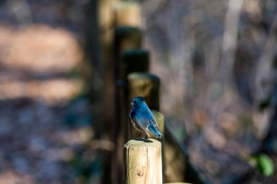 soku_33646.jpg :: 動物 鳥 野鳥 自然の鳥 カワセミ