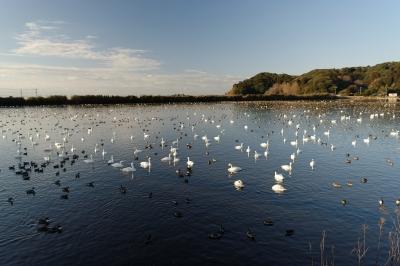 soku_33676.jpg :: 動物 鳥 白鳥 ハクチョウ 白鳥の湖