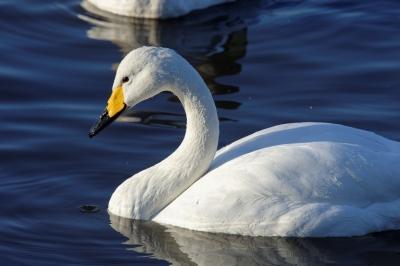 soku_33677.jpg :: 動物 鳥 白鳥 ハクチョウ 白鳥の湖 スワン