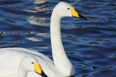 soku_33681.jpg :: 動物 鳥 白鳥 ハクチョウ 白鳥の湖 スワン