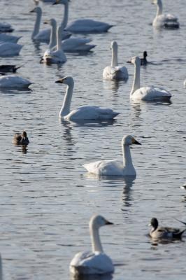 soku_33682.jpg :: 動物 鳥 白鳥 ハクチョウ 白鳥の湖