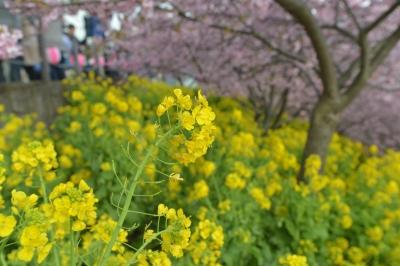 soku_33709.jpg :: 植物 花 菜の花