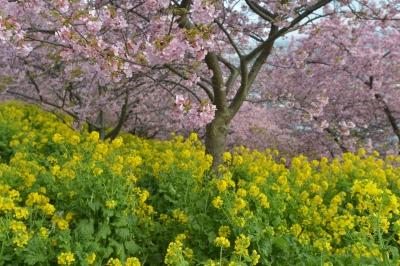 soku_33710.jpg :: 植物 花 菜の花 桜 サクラ