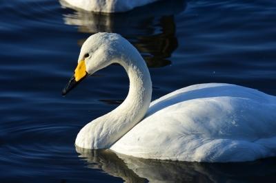 soku_33726.jpg :: 動物 鳥 白鳥 ハクチョウ
