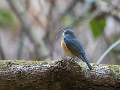 soku_33727.jpg :: 動物 鳥 野鳥 自然の鳥 ルリビタキ
