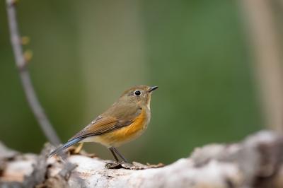 soku_33759.jpg :: 動物 鳥 野鳥 自然の鳥 ルリビタキ