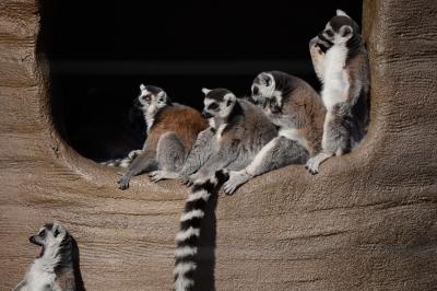 soku_33765.jpg :: 動物 哺乳類 有袋類 アライグマ ラスカル
