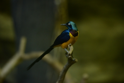 soku_33766.jpg :: 動物 鳥 野鳥 自然の鳥 カワセミ