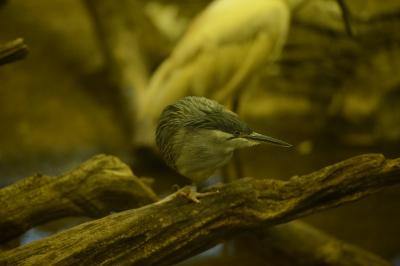 soku_33768.jpg :: 動物 鳥 野鳥 自然の鳥 ウグイス 鶯