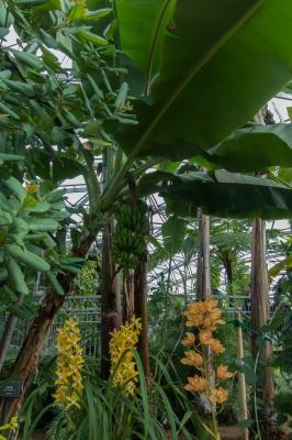 soku_33803.jpg :: 熱帯 公園 新宿御苑 温室 バナナ