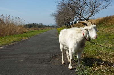 soku_33823.jpg :: 動物 家畜 ヤギ 屋外 散歩