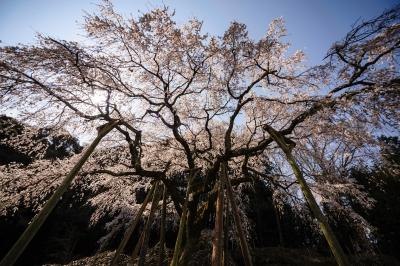 soku_33830.jpg :: 岡崎市 奥山田 枝垂桜 植物 花 桜 サクラ