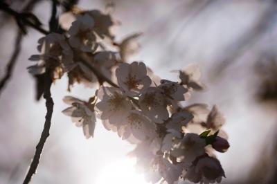 soku_33831.jpg :: 岡崎市 奥山田 枝垂桜 植物 花 桜 サクラ 逆光