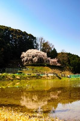 soku_33833.jpg :: 岡崎市 奥山田 枝垂桜 植物 花 桜 サクラ 風景 自然 水面 水鏡