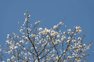soku_33841.jpg :: 植物 花 桜 サクラ