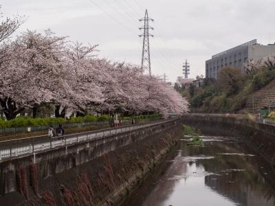 soku_33850.jpg :: 植物 花 桜 サクラ 風景 自然 川