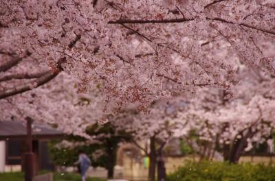 soku_33853.jpg :: 植物 花 桜 サクラ 満開