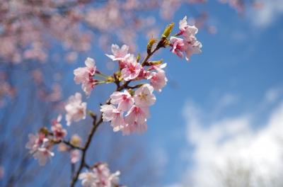 soku_33854.jpg :: 植物 花 桜 サクラ つぼみ