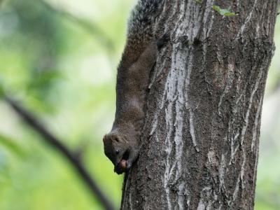 soku_33862.jpg :: 動物 哺乳類 栗鼠 リス タイワンリス