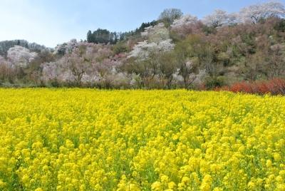 soku_33869.jpg :: 福島県 花見山公園 植物 花 桜 サクラ 菜の花